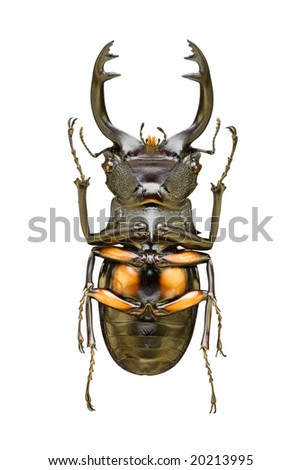Bottom view of large beetle (From the Lucanidae family) with long jaws originating from Indonesia - stock photo