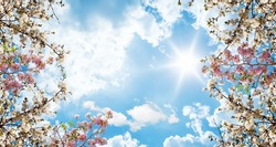 Bottom view of pink white cherry blossoms and bright cloudy sunny sky. photo for stretch ceiling decoration