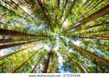 Bottom view of tall old trees in evergreen primeval forest of Jiuzhaigou nature reserve (Jiuzhai Valley National Park), Sichuan province, China. Blue sky in background.