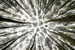Bottom view of tall old trees in pine forest Mangunan, Yogyakarta Indonesia. Beautiful place for vacation in Yogyakarta
