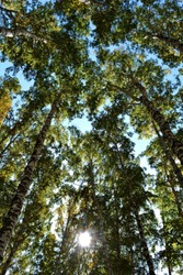 Bottom view of the high crowns of birches in the forest with green foliage with green foliage at sunny summer day on background of blue sky and white clouds against bright rays of sun shine and glare