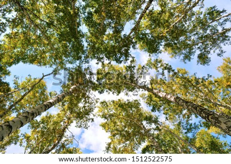 Bottom view of the high crowns of birches in the forest with green foliage with green foliage at sunny summer day on background of blue sky and white clouds #1512522575