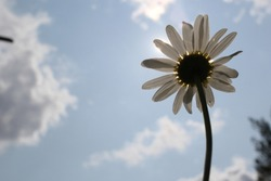 Bottom view on a white daisy with sun through its petals against blue sky with white clouds