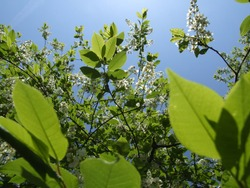 Bottom view on blooming bird cherry through green leaves against sunny blue sky