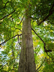 Bottom view over big gorgeous standalone European aspen tree (Populus tremula) with green and white foliage and blue sky in the background in the Tiergarten inner city park in Berlin on autumn day.