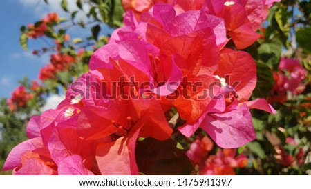 Bougainville is one of the most popular ornamental plants because it is very easy to maintain. In addition, this ornamental flower plant also has a variety of varieties and colors