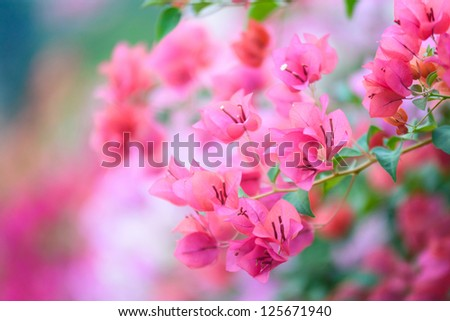 Bougainvillea blooms in the garden, soft focus