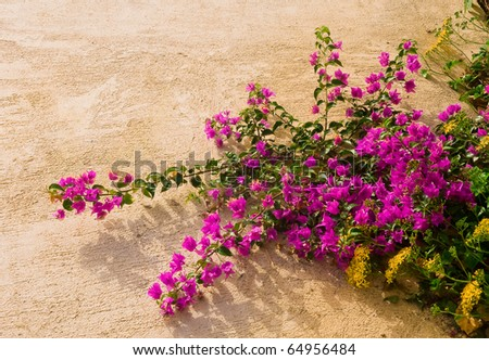 Bougainvillea bush with pink flowers and yellow wildflowers on a background texture walls.