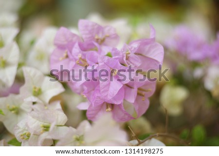 Bougainvillea Flower is a semi-perennial shrub type size from small shrubs to large shrubs.There are thorns along the trunk, single leaves break out, alternating with branches or indentations. #1314198275