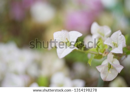 Bougainvillea Flower is a semi-perennial shrub type size from small shrubs to large shrubs.There are thorns along the trunk, single leaves break out, alternating with branches or indentations. #1314198278