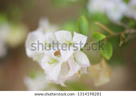 Bougainvillea Flower is a semi-perennial shrub type size from small shrubs to large shrubs.There are thorns along the trunk, single leaves break out, alternating with branches or indentations. #1314198281