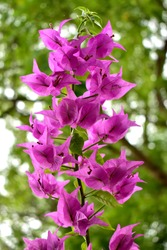 Bougainvillea Flower - The genus of thorny ornamental vines, bushes, or trees