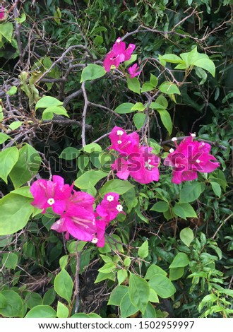 Bougainvillea flowers are perennial plants in the semi-creeper type bush.  Size from small bushes to large bushes  With thorns growing along the trunk, the leaves were broken apart, with branches. #1502959997