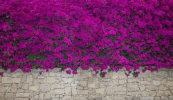 Bougainvillea flowers close up.Blooming bougainvillea.Bougainvillea flowers as a background.Floral background. Violet bougainville flowers blooming on white wall. Malta. Malta flora
