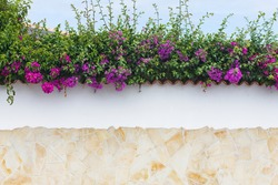 Bougainvillea flowers close up.Blooming bougainvillea.Bougainvillea flowers as a background.Floral background. Violet bougainville flowers blooming on white wall. Tenerife flowrs. Tenerife flora.Malta