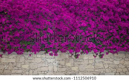 Bougainvillea flowers close up.Blooming bougainvillea.Bougainvillea flowers as a background.Floral background. Violet bougainville flowers blooming on white wall. Malta. Malta flora