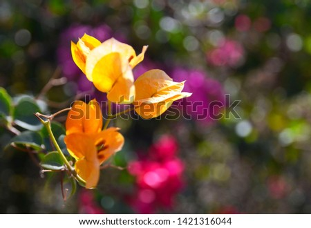 Bougainvillea flowers in the park of Tenerife on a sunny morning.Blooming Bougainville.Summer floral background for design.Selective focus