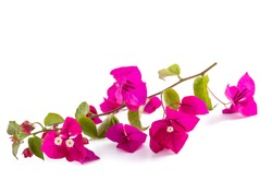 Bougainvillea  flowers isolated on white background