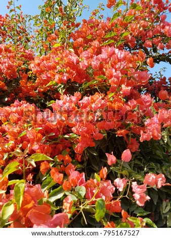 Bougainvillea flowers will fill your heart with love #795167527