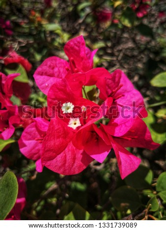 Bougainvillea Is a semi-perennial shrub type Size from small shrubs to large shrubs With thorns along the trunk #1331739089