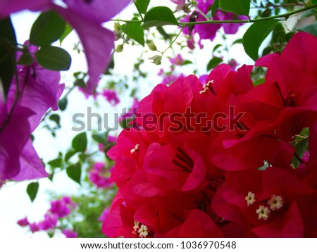 Bougainvillea,Nyctaginaceae,It is a perennial shrub-type semi-trailer. Sizes range from small shrubs to large shrubs. Barbed based on a single stem. Like the sun and Love the outdoors. #1036970548
