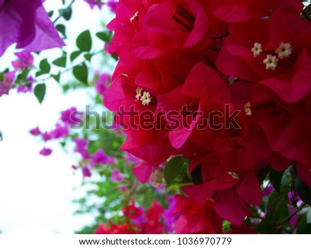 Bougainvillea,Nyctaginaceae,It is a perennial shrub-type semi-trailer. Sizes range from small shrubs to large shrubs. Barbed based on a single stem. Like the sun and Love the outdoors. #1036970779