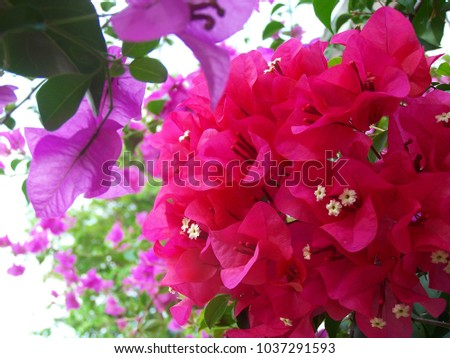 Bougainvillea,Nyctaginaceae,It is a perennial shrub-type semi-trailer. Sizes range from small shrubs to large shrubs. Barbed based on a single stem. Like the sun and Love the outdoors. #1037291593