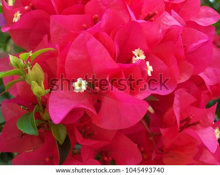 Bougainvillea,Nyctaginaceae,It is a perennial shrub-type semi-trailer. Sizes range from small shrubs to large shrubs. Barbed based on a single stem. Like the sun and Love the outdoors.  #1045493740