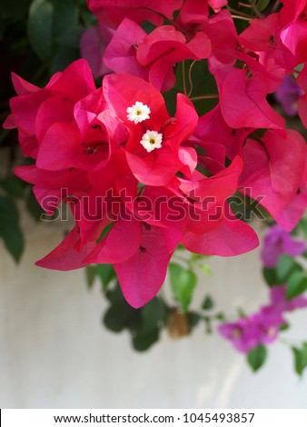 Bougainvillea,Nyctaginaceae,It is a perennial shrub-type semi-trailer. Sizes range from small shrubs to large shrubs. Barbed based on a single stem. Like the sun and Love the outdoors.  #1045493857