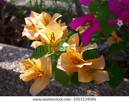 Bougainvillea,Nyctaginaceae,It is a perennial shrub-type semi-trailer. Sizes range from small shrubs to large shrubs. Barbed based on a single stem. Like the sun and Love the outdoors. #1051134086