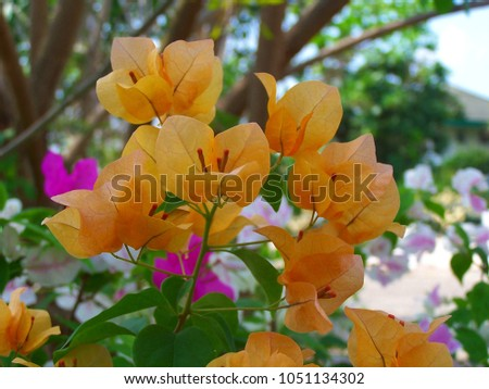Bougainvillea,Nyctaginaceae,It is a perennial shrub-type semi-trailer. Sizes range from small shrubs to large shrubs. Barbed based on a single stem. Like the sun and Love the outdoors. #1051134302