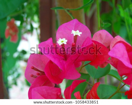 Bougainvillea,Nyctaginaceae,It is a perennial shrub-type semi-trailer. Sizes range from small shrubs to large shrubs. Barbed based on a single stem. Like the sun and Love the outdoors.  #1058433851