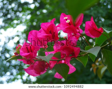 Bougainvillea,Nyctaginaceae,It is a perennial shrub-type semi-trailer. Sizes range from small shrubs to large shrubs. Barbed based on a single stem. Like the sun and Love the outdoors. #1092494882