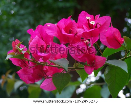 Bougainvillea,Nyctaginaceae,It is a perennial shrub-type semi-trailer. Sizes range from small shrubs to large shrubs. Barbed based on a single stem. Like the sun and Love the outdoors. #1092495275