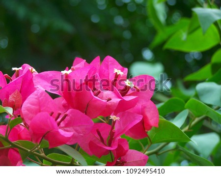Bougainvillea,Nyctaginaceae,It is a perennial shrub-type semi-trailer. Sizes range from small shrubs to large shrubs. Barbed based on a single stem. Like the sun and Love the outdoors. #1092495410
