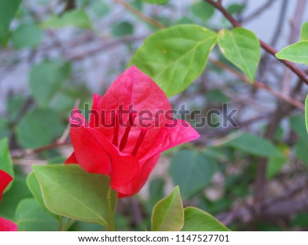Bougainvillea,Nyctaginaceae,It is a perennial shrub-type semi-trailer. Sizes range from small shrubs to large shrubs. Barbed based on a single stem. Like the sun and Love the outdoors. #1147527701