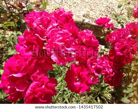 Bougainvillea,Nyctaginaceae,It is a perennial shrub-type semi-trailer. Sizes range from small shrubs to large shrubs. Barbed based on a single stem. Like the sun and Love the outdoors.  #1435417502