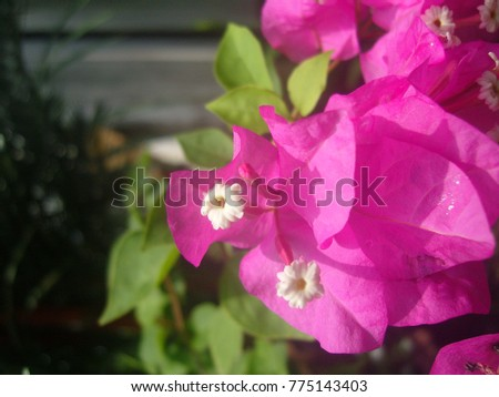 Bougainvillea,Nyctaginaceae,It is a perennial shrub-type semi-trailer. Sizes range from small shrubs to large shrubs. Barbed based on a single stem. Like the sun and Love the outdoors. #775143403