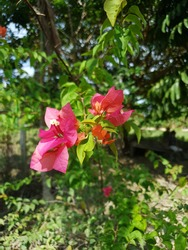 Bougainvillea or Bougainville Flower - Indonesian people call this 'Bunga Kertas'. You can easily find this flower in Indonesia.