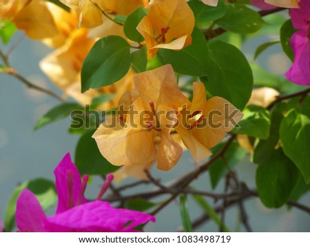 Bougainvillea 'Orange King', Nyctaginaceae,It is a perennial shrub-type semi-trailer. Sizes range from small shrubs to large shrubs. Barbed based on a single stem. Like the sun and Love the outdoors. #1083498719