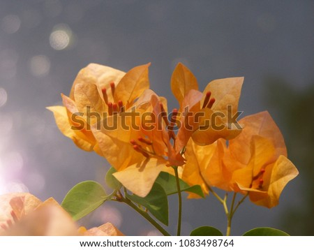 Bougainvillea'Orange King', Nyctaginaceae,It is a perennial shrub-type semi-trailer. Sizes range from small shrubs to large shrubs. Barbed based on a single stem. Like the sun and Love the outdoors. #1083498764