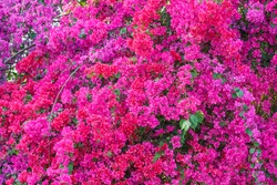 Bougainvillea paper flower in colorful color