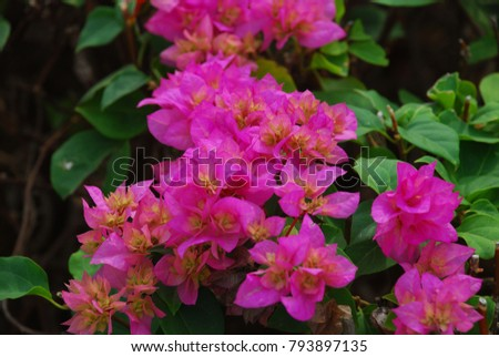 Bougainvillea perennial bush the thorns up the trunk single leaves bougainvillea perennial bush the thorns up the trunk single leaves alternate with slightly raised hairs mightylinksfo