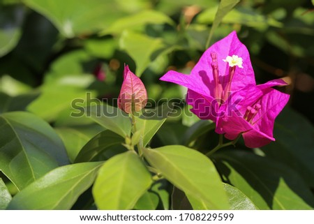 Bougainvillea (Primavera) a genus of thorny ornamental vines, bushes, or trees. The inflorescence consists of large colourful sepallike bracts which surround three simple waxy flowers. Foto stock ©