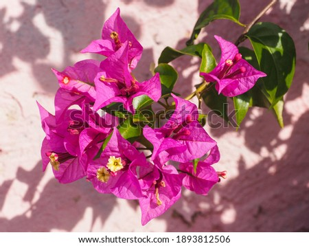 Bougainvillea spectabilis, glabra or buttiana known as great bougainvillea. Flowering plant in the family Nyctaginaceae. Evergreen Paperflower is ornamental plant, woody vine shrub with pink flowers.