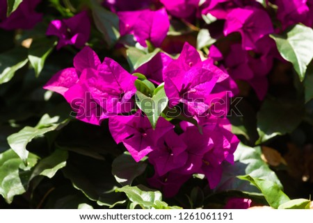 Bougainvillea Spectabilis purple bracts in sunlight, Kenya