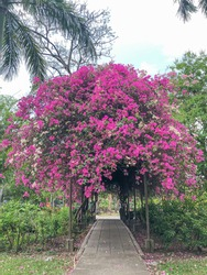 Bougainvillea tree tunnel with pathway under tunnel in park