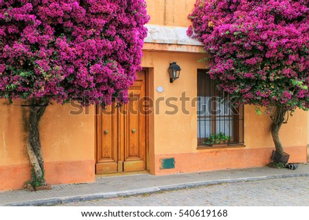 Shutterstock Bougainvillea trees growing by the house in historic quarter of Colonia del Sacramento, Uruguay. It is one of the oldest towns in Uruguay