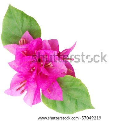 Bougainvillea with pink blossoms