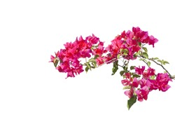 Bougainvilleas isolated on white background. Paper flower .  Save with Clipping path .